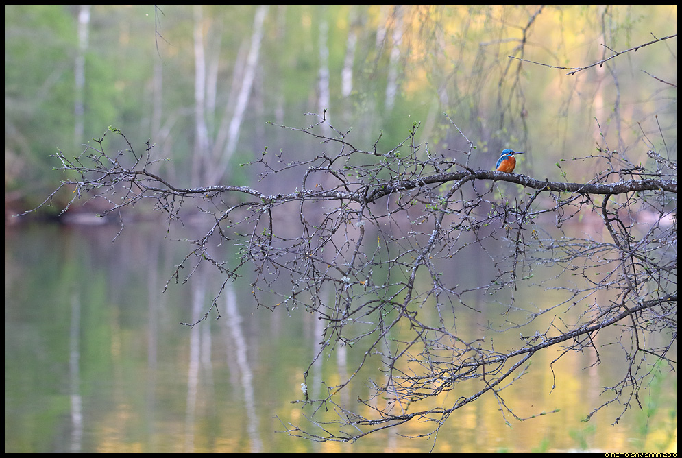 Jäälind, Kingfisher, Alcedo atthis kevad emajõgi spring river Remo Savisaar Eesti loodus  Estonian Estonia Baltic nature wildlife photography photo blog loodusfotod loodusfoto looduspilt looduspildid