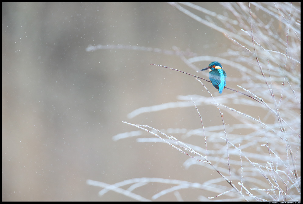 Jäälind, Kingfisher, Alcedo atthis lumesadu snowfall talv winter Remo Savisaar Eesti loodus  Estonian Estonia Baltic nature wildlife photography photo blog loodusfotod loodusfoto looduspilt looduspildid