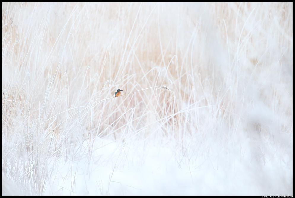Jäälind, Kingfisher, Alcedo atthis talv winter wintering härmas härmatis frost frosty minimalism Remo Savisaar Eesti loodus  Estonian Estonia Baltic nature wildlife photography photo blog loodusfotod loodusfoto looduspilt looduspildid