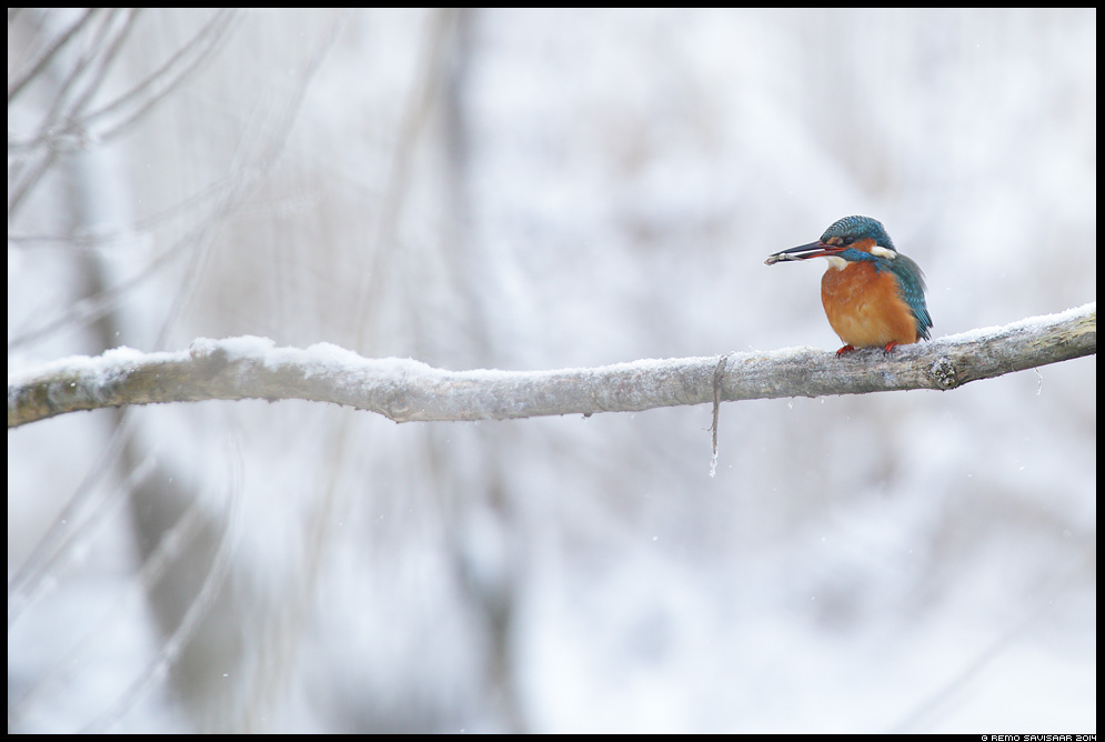 Jäälind, Kingfisher, Alcedo atthis  talv talvine Remo Savisaar Eesti loodus  Estonian Estonia Baltic nature wildlife photography photo blog loodusfotod loodusfoto looduspilt looduspildid