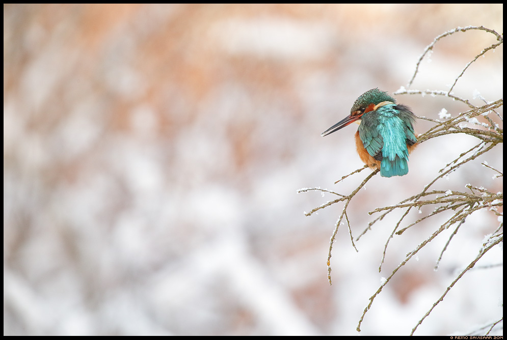 Jäälind, Kingfisher, Alcedo atthis talv winter wintering Remo Savisaar Eesti loodus  Estonian Estonia Baltic nature wildlife photography photo blog loodusfotod loodusfoto looduspilt looduspildid