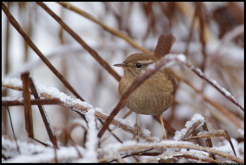Käblik, Wren, Troglodytes troglodytes Remo Savisaar Eesti loodus  Estonian Estonia Baltic nature wildlife photography photo blog loodusfotod loodusfoto looduspilt looduspildid