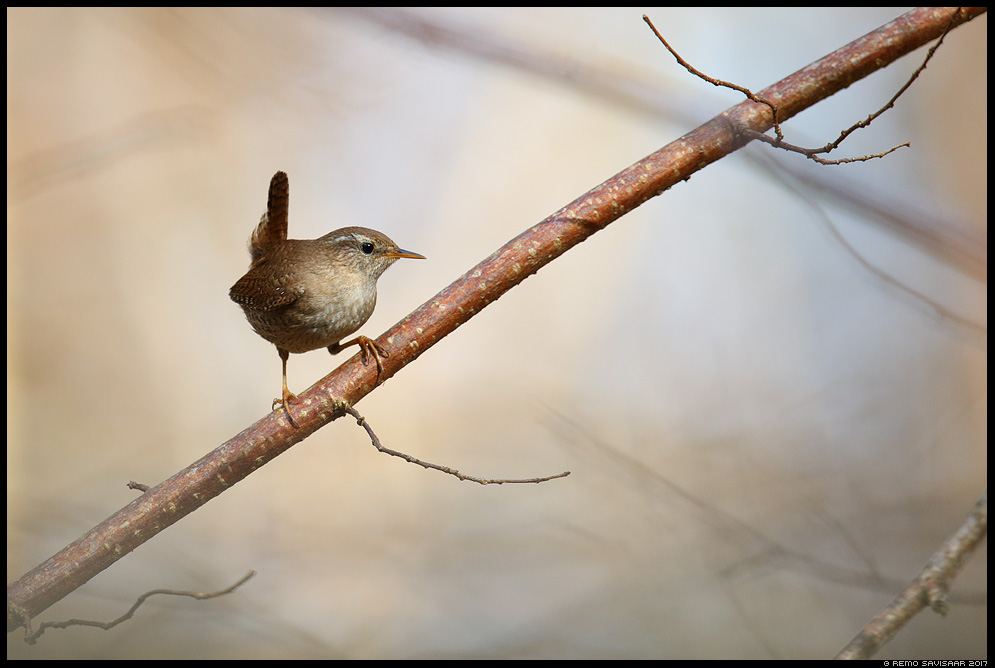 Käblik, Wren, Troglodytes troglodytes Remo Savisaar Eesti loodus  Estonian Estonia Baltic nature wildlife photography photo blog loodusfotod loodusfoto looduspilt looduspildid