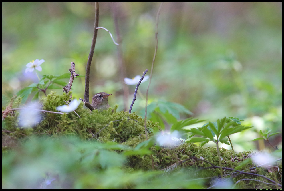 Käblik, Wren, Troglodytes troglodytes ülane wood anemone forest mets Remo Savisaar Eesti loodus  Estonian Estonia Baltic nature wildlife photography photo blog loodusfotod loodusfoto looduspilt looduspildid