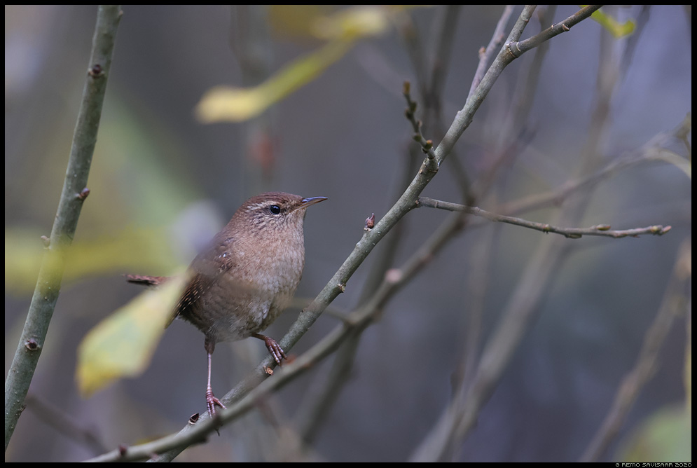 Käblik, Wren, Troglodytes troglodytes forest mets Remo Savisaar Eesti loodus  Estonian Estonia Baltic nature wildlife photography photo blog loodusfotod loodusfoto looduspilt looduspildid