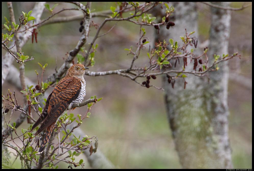 Kägu, Cuckoo, Cuculus canorus, mets, forest, puise, kiideva
