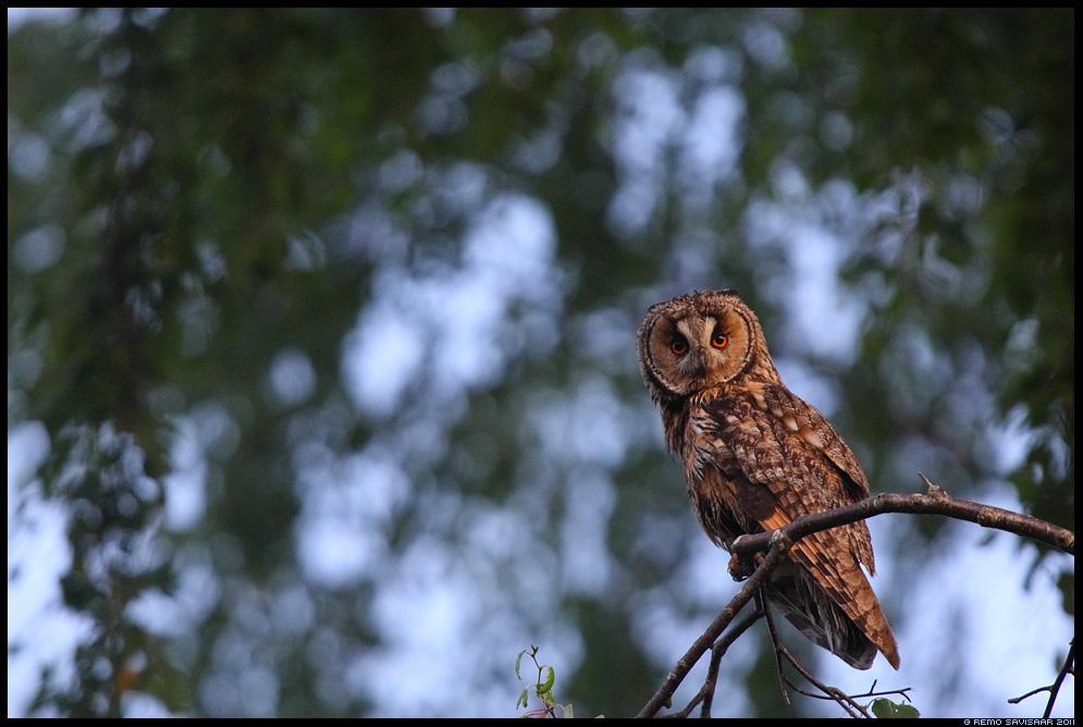 Kõrvukräts, Long-eared Owl, Asio otus