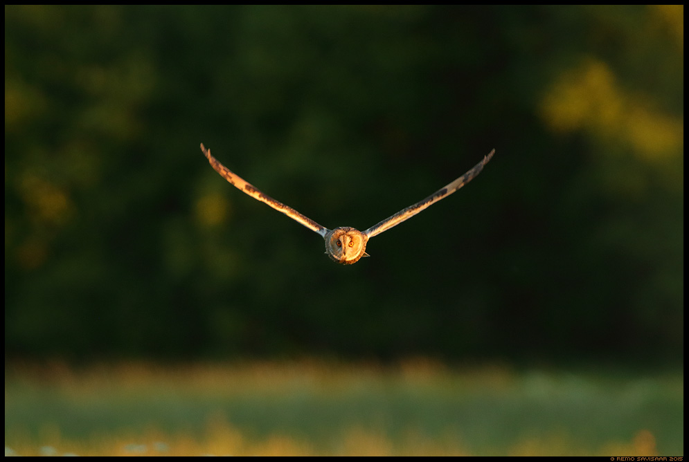 Kõrvukräts, Long-eared Owl, Asio otus Remo Savisaar Eesti loodus  Estonian Estonia Baltic nature wildlife photography photo blog loodusfotod loodusfoto looduspilt looduspildid