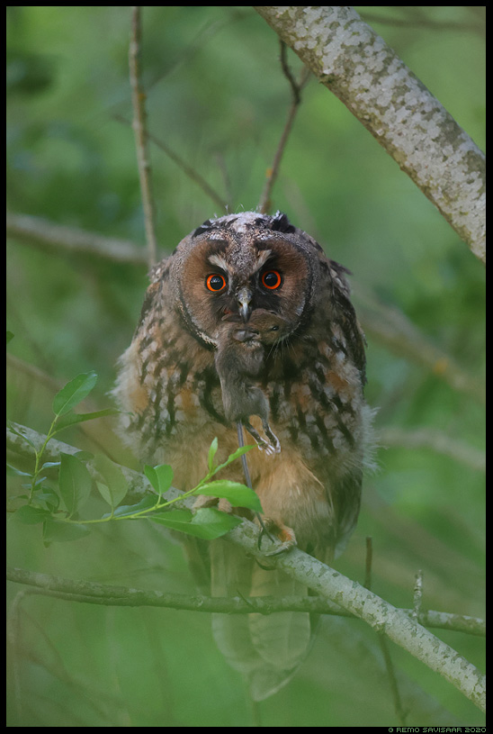 Kõrvukräts, Long-eared Owl, Asio otus hiir saak näriline mouse rodent prey Remo Savisaar Eesti loodus  Estonian Estonia Baltic nature wildlife photography photo blog loodusfotod loodusfoto looduspilt looduspildid
