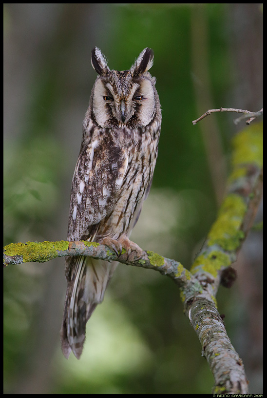 Kõrvukräts, Long-eared Owl, Asio otus Remo Savisaar Eesti loodus  Estonian Estonia Baltic nature wildlife photography photo blog loodusfotod loodusfoto looduspilt looduspildid