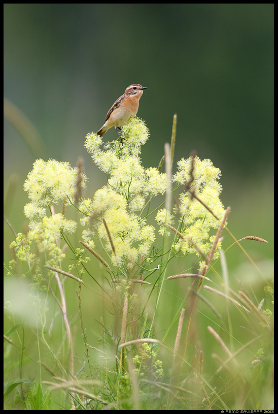 Kadakatäks, Whinchat, Saxicola rubetra Estonia, Europe Remo Savisaar Eesti loodus  Estonian Estonia Baltic nature wildlife photography photo blog loodusfotod loodusfoto looduspilt looduspildid