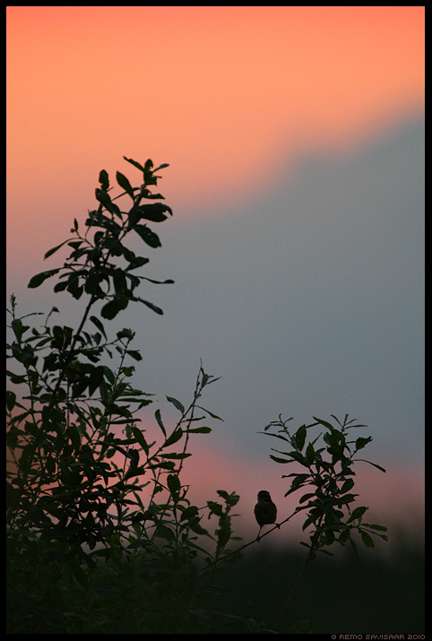 Kadakatäks, Whinchat, Saxicola rubetra