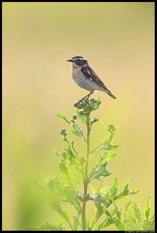 Kadakatäks, Whinchat, Saxicola rubetra  Remo Savisaar Eesti loodus  Estonian Estonia Baltic nature wildlife photography photo blog loodusfotod loodusfoto looduspilt looduspildid