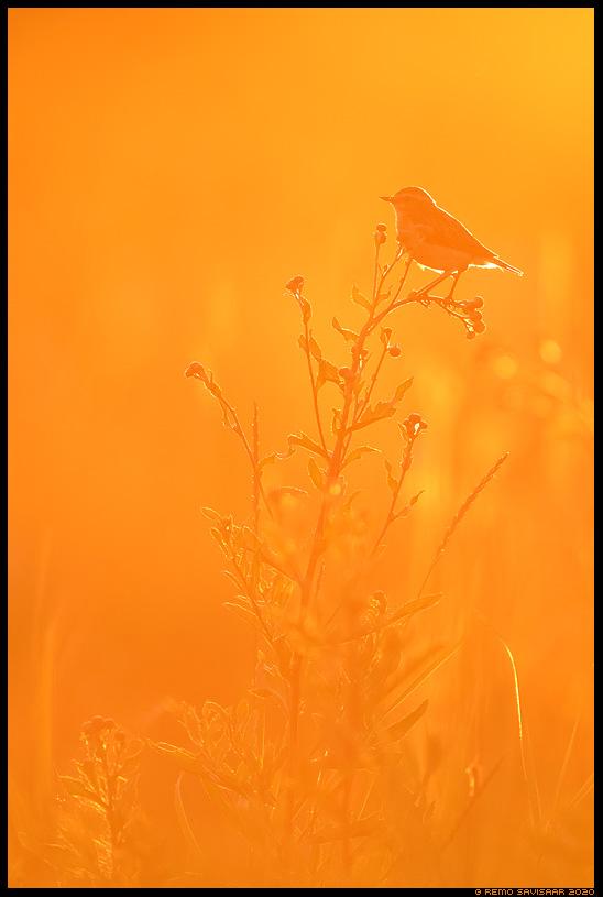 Kadakatäks, Whinchat, Saxicola rubetra  Remo Savisaar Eesti loodus  Estonian Estonia Baltic nature wildlife photography photo blog loodusfotod loodusfoto looduspilt looduspildid
