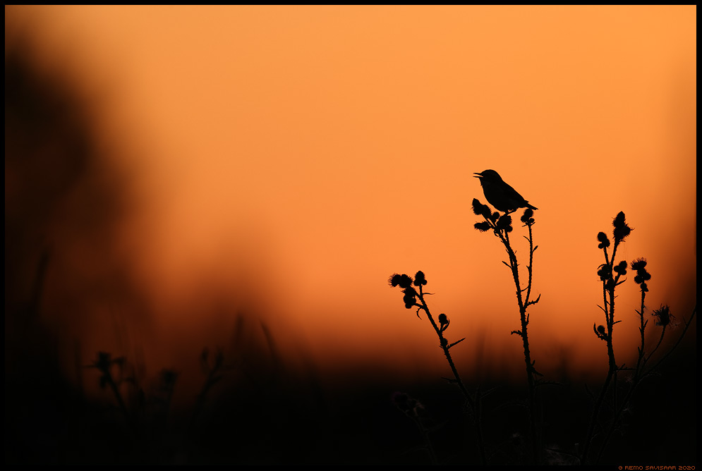 Kadakatäks, Whinchat, Saxicola rubetra siluett silhouette Remo Savisaar Eesti loodus  Estonian Estonia Baltic nature wildlife photography photo blog loodusfotod loodusfoto looduspilt looduspildid