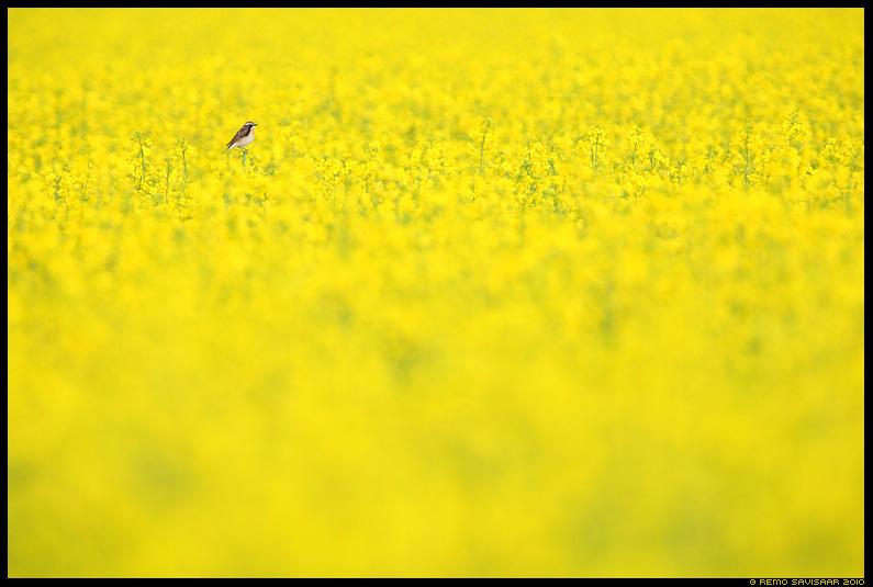 Suviselt kollane, Summery Yellow, Kadakatäks, Whinchat, Saxicola rubetra