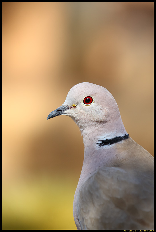 Kaelus-turteltuvi, Collared Dove, Streptopelia decaocto Aasta lind 2017, Estonia's bird of the year 2017 Remo Savisaar Eesti loodus Estonian Estonia Baltic nature wildlife photography photo blog loodusfotod loodusfoto looduspilt looduspildid landscape nature wild wildlife nordic