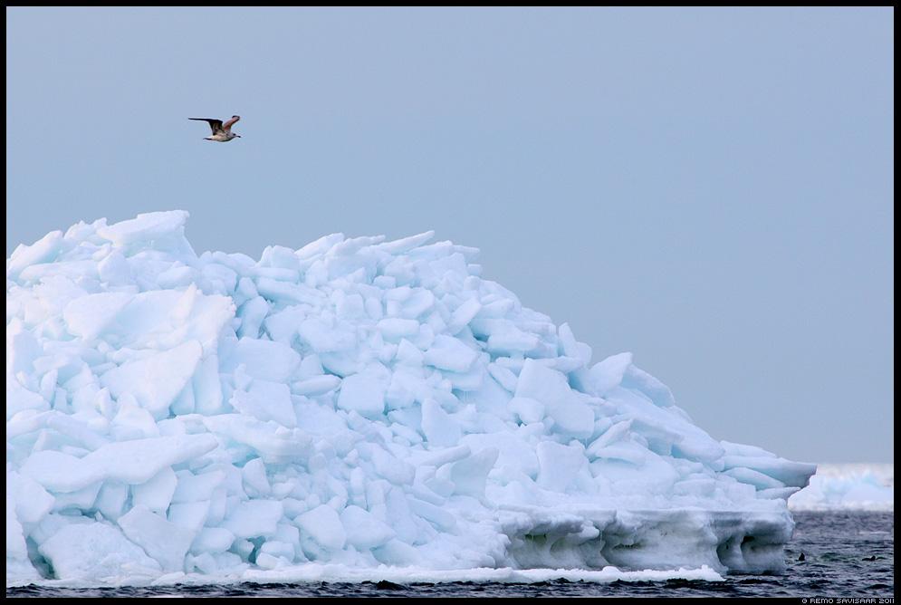Lend üle jäämägede, Flight over the Icebergs, kajakas, gull, meri, rannik, baltic sea, märts, kevad, march, spring
