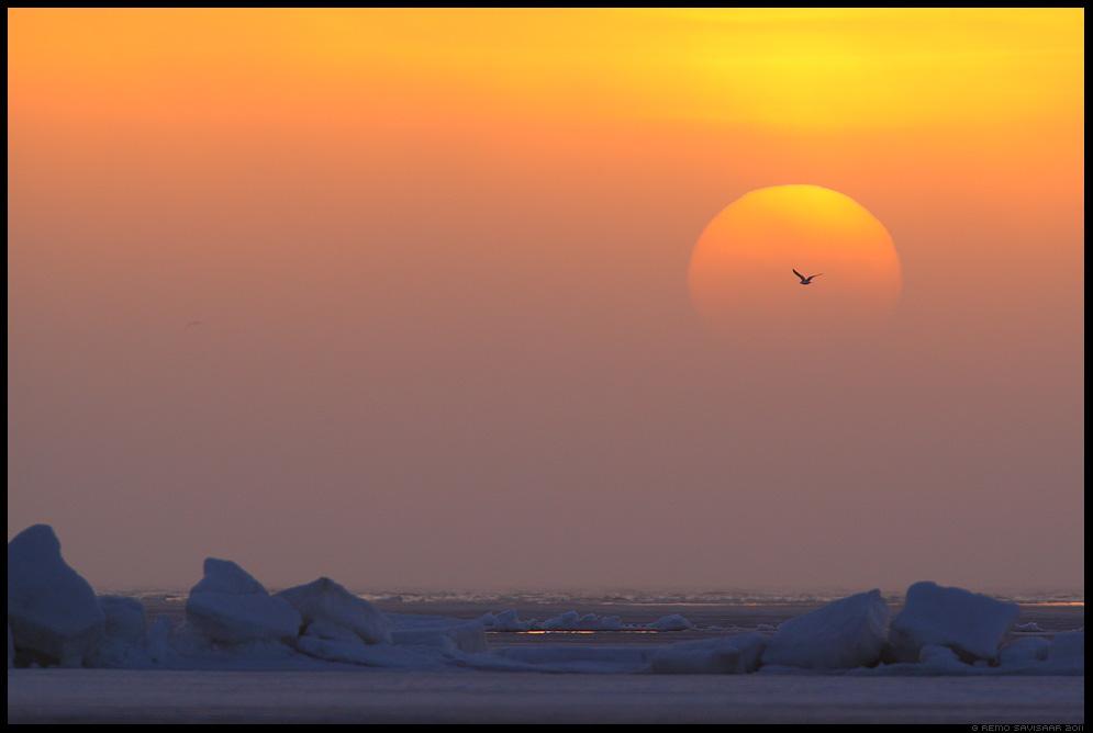 kajakas, gull, päike, loojang, meri, jää, jäämäed, ice, icebergs, matsalu rahvuspark, päikeseloojang, sunset, eesti