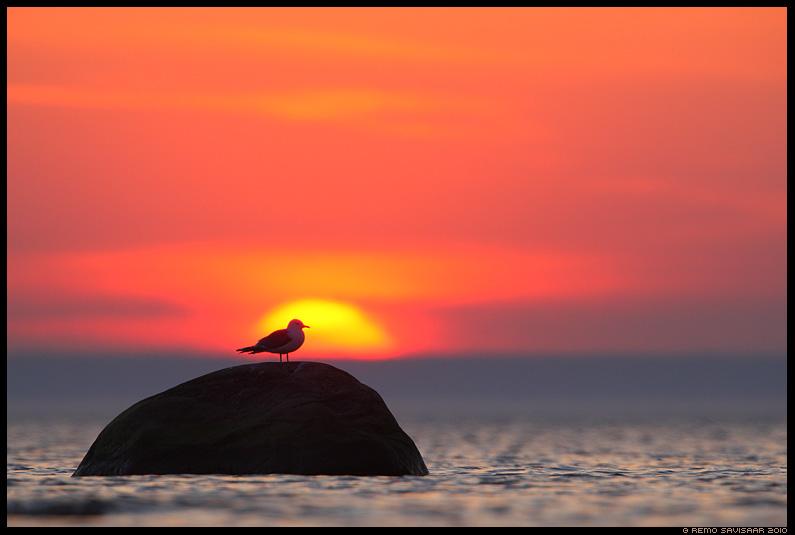 Kalakajakas, Common Gull, Larus canus, loojang, meri, rannik