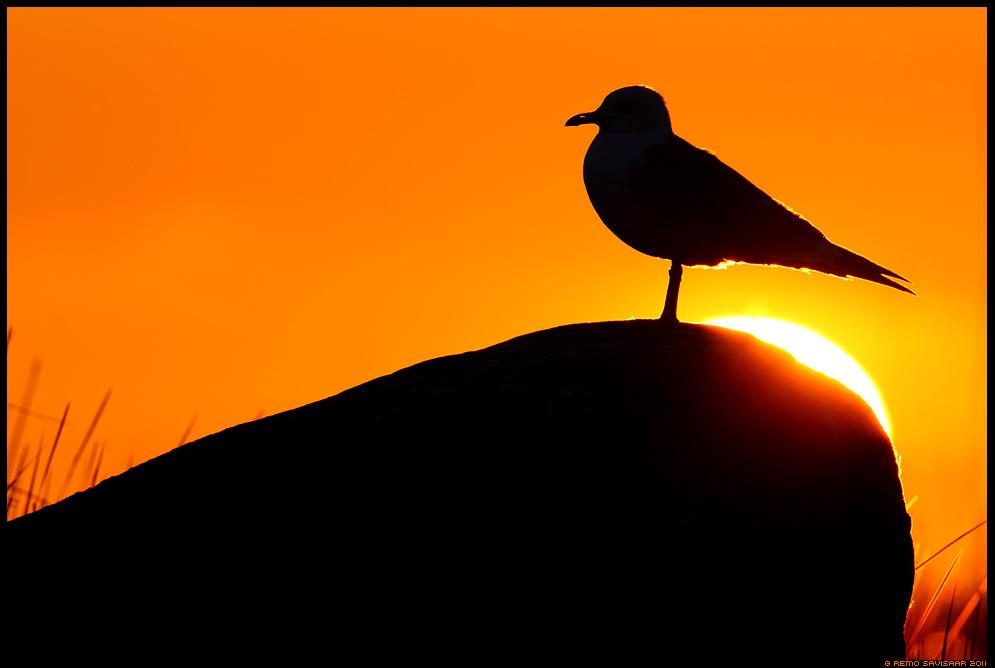 Päikese paitus, Caress of the sun, Kalakajakas, Common Gull, Larus canus,  kevad, spring, mai, maikuu, may, loojang, sunset, õhtu, evening, sun, shining, päike