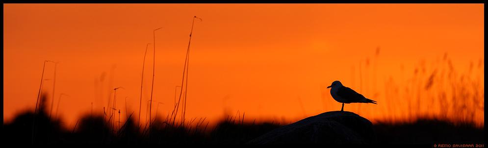 Kalakajakas, Common Gull, Larus canus, kevad, spring, mai, maikuu, may, loojang, sunset, õhtu, evening, Õhtupuna, Evening glow