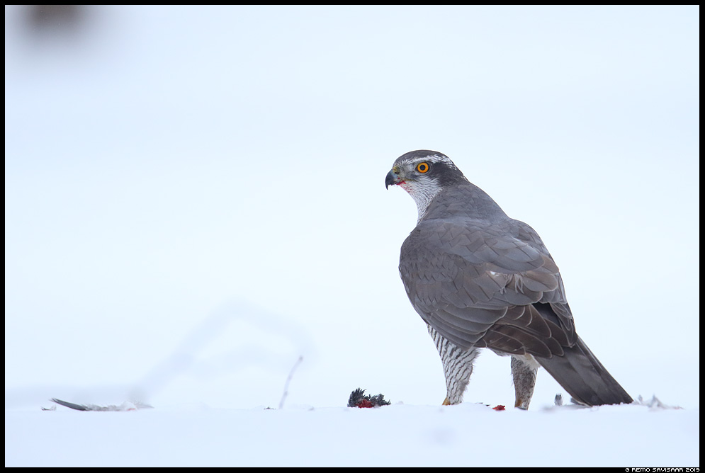 Kanakull, Goshawk, Accipiter gentilis  Remo Savisaar Eesti loodus  Estonian Estonia Baltic nature wildlife photography photo blog loodusfotod loodusfoto looduspilt looduspildid