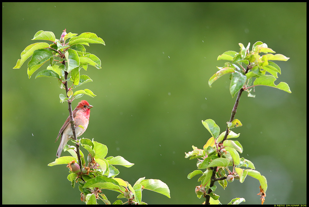 Karmiinleevike, Common Rosefinch, Carpodacus erythrinus  Remo Savisaar Eesti loodus  Estonian Estonia Baltic nature wildlife photography photo blog loodusfotod loodusfoto looduspilt looduspildid