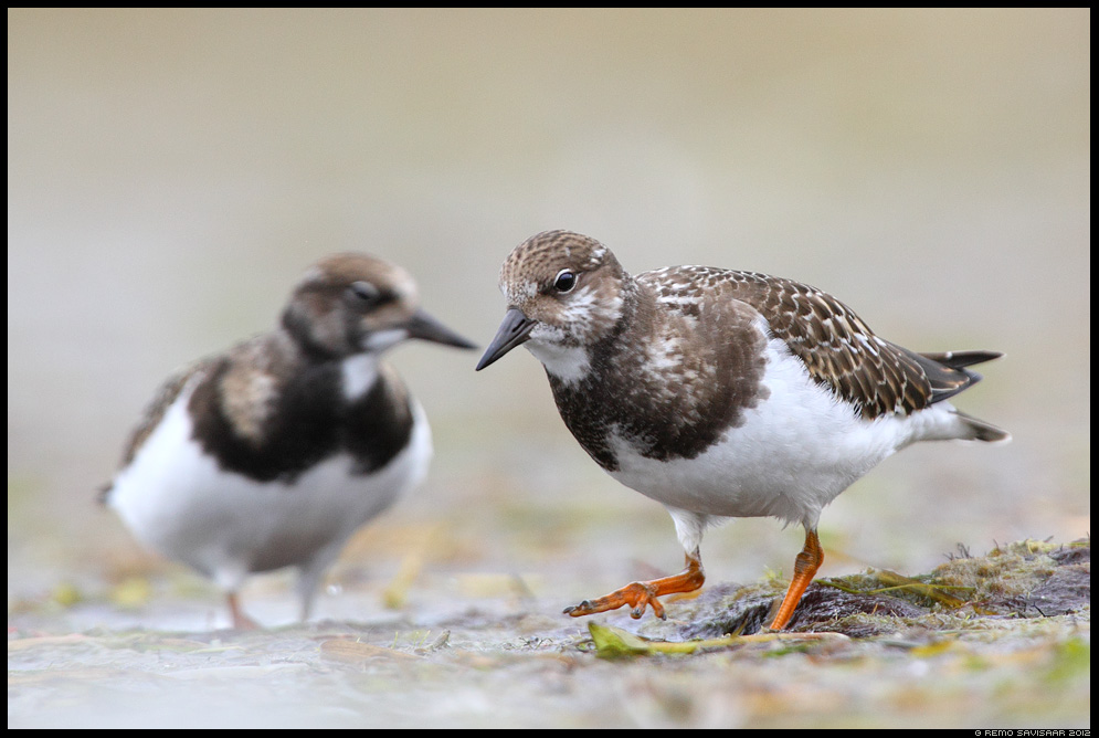 Kivirullija, Ruddy Turnstone, Arenaria interpres
