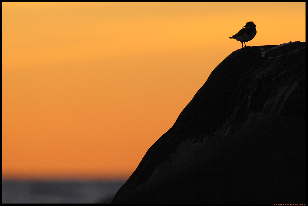 Loojangut nautimas, Enjoying the sunset, Kivirullija, Ruddy Turnstone, Arenaria interpres Remo Savisaar Eesti loodus  Estonian Estonia Baltic nature wildlife photography photo blog loodusfotod loodusfoto looduspilt looduspildid