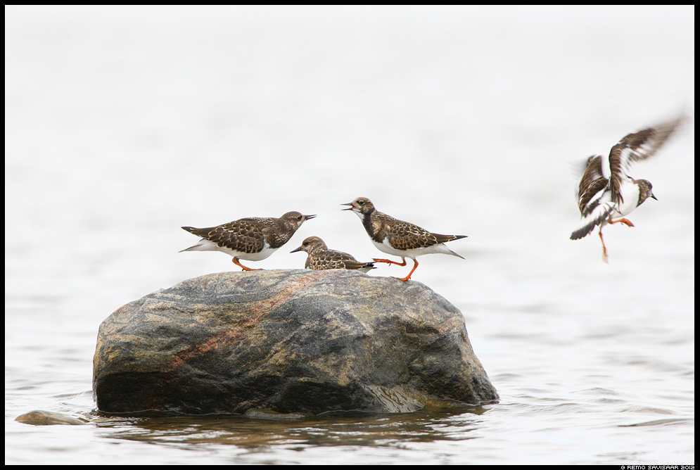Kivirullija, Ruddy Turnstone, Arenaria interpres Remo Savisaar Eesti loodus Estonian Estonia Baltic nature wildlife photography photo blog loodusfotod loodusfoto looduspilt looduspildid