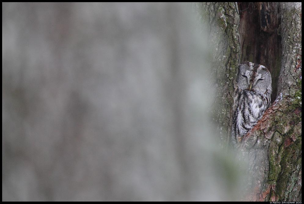 Kodukakk, Tawny Owl, Strix aluco öökull puu tree õõnsus Remo Savisaar Eesti loodus Estonian Estonia Baltic nature wildlife photography photo blog loodusfotod loodusfoto looduspilt looduspildid