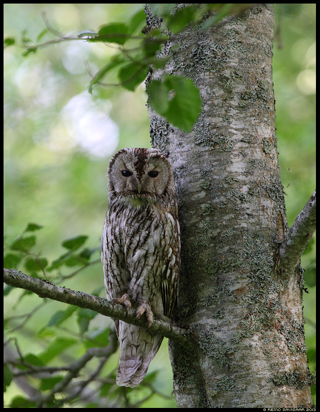 Kodukakk, Tawny Owl, Strix aluco öökull puu tree Remo Savisaar Eesti loodus Estonian Estonia Baltic nature wildlife photography photo blog loodusfotod loodusfoto looduspilt looduspildid