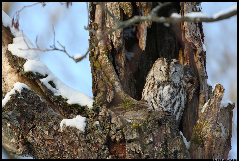 Kodukakk, Tawny Owl, Strix aluco öökull puu tree õõnsus Remo Savisaar Eesti loodus Estonian Estonia Baltic nature wildlife photography photo blog loodusfotod loodusfoto looduspilt looduspildid