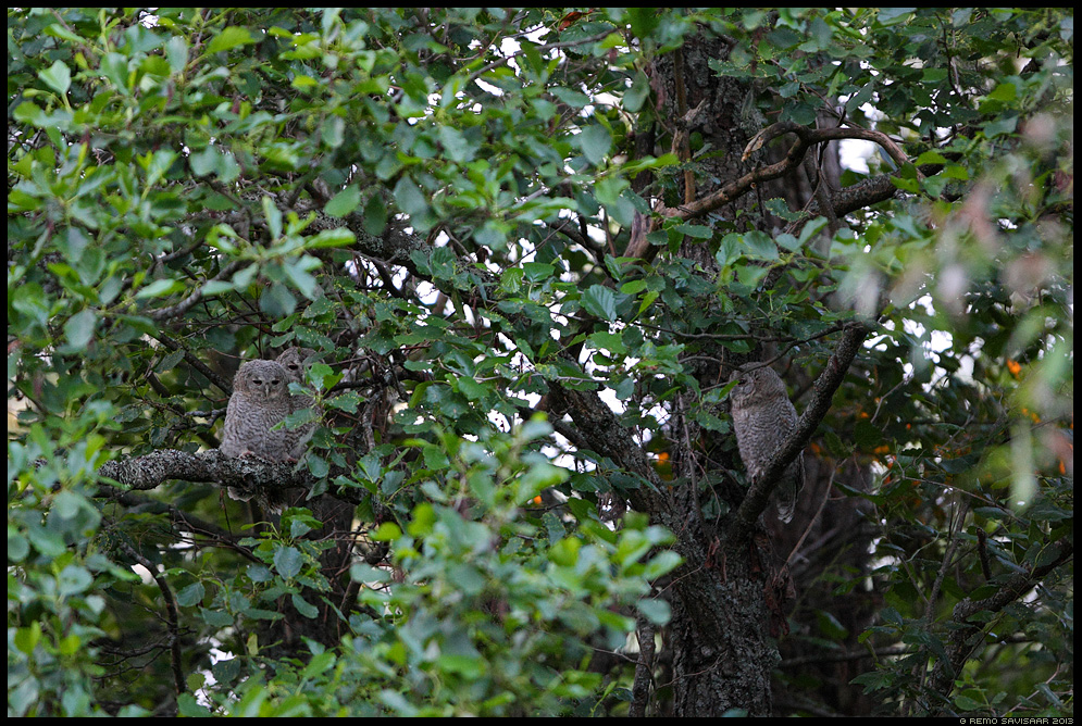 Kodukakk, Tawny Owl, Strix aluco kakulaps juvenile kakulapsed öökull puu tree Remo Savisaar Eesti loodus Estonian Estonia Baltic nature wildlife photography photo blog loodusfotod loodusfoto looduspilt looduspildid
