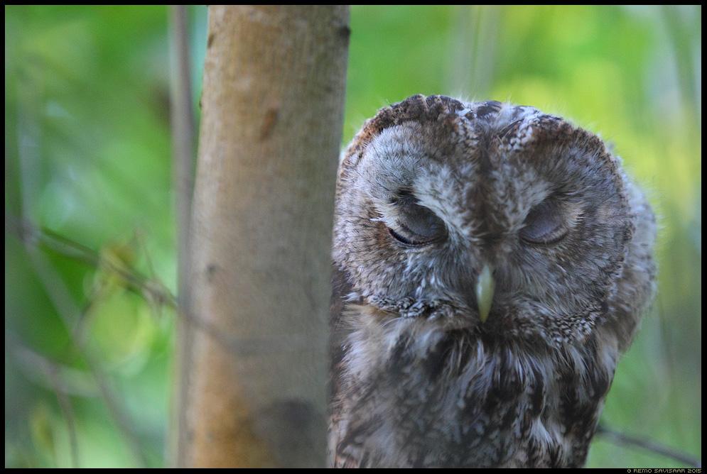 Kodukakk, Tawny Owl, Strix aluco Tukastab, Taking a nap Remo Savisaar Eesti loodus  Estonian Estonia Baltic nature wildlife photography photo blog loodusfotod loodusfoto looduspilt looduspildid