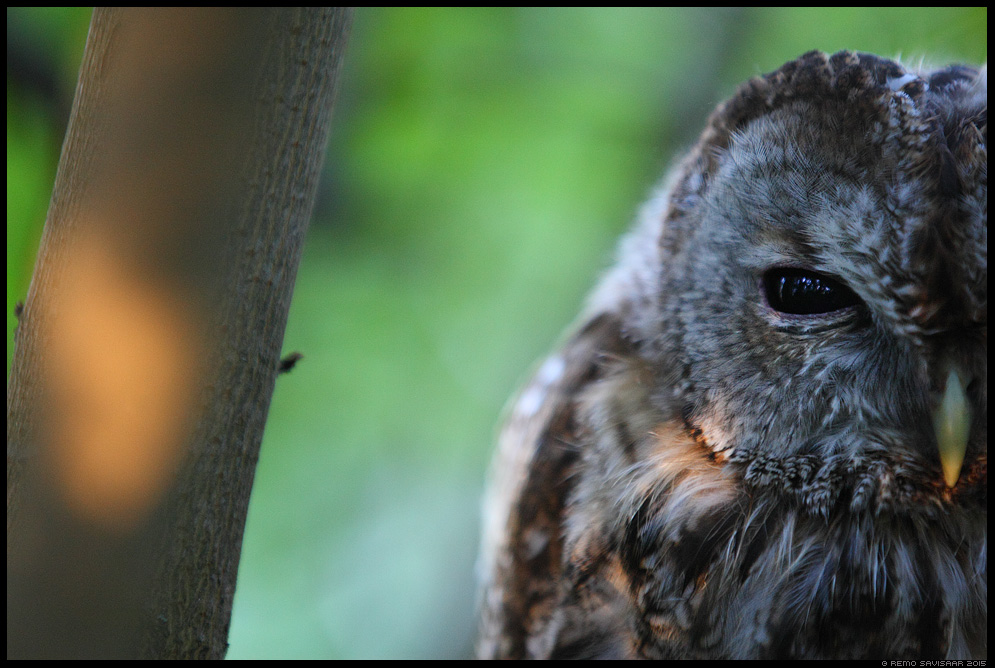 Kodukakk, Tawny Owl, Strix aluco portree portrait Remo Savisaar Eesti loodus  Estonian Estonia Baltic nature wildlife photography photo blog loodusfotod loodusfoto looduspilt looduspildid