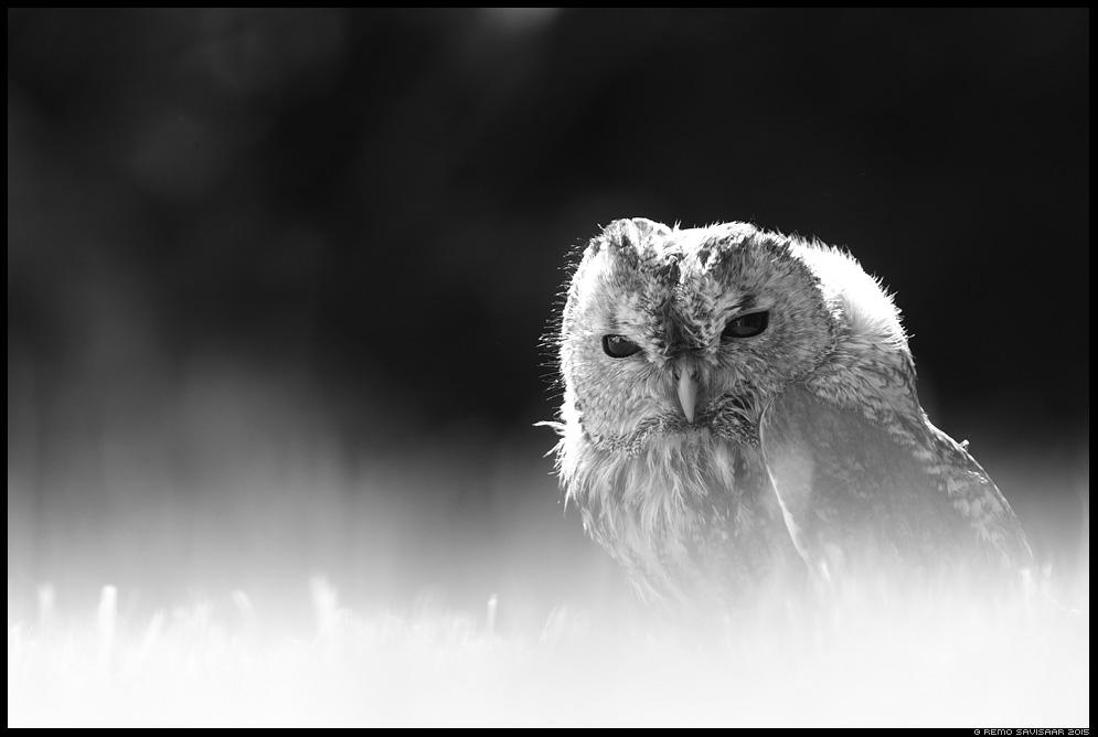 Kodukakk, Tawny Owl, Strix aluco portree portrait Remo Savisaar Eesti loodus  Estonian Estonia Baltic nature wildlife photography photo blog loodusfotod loodusfoto looduspilt looduspildid