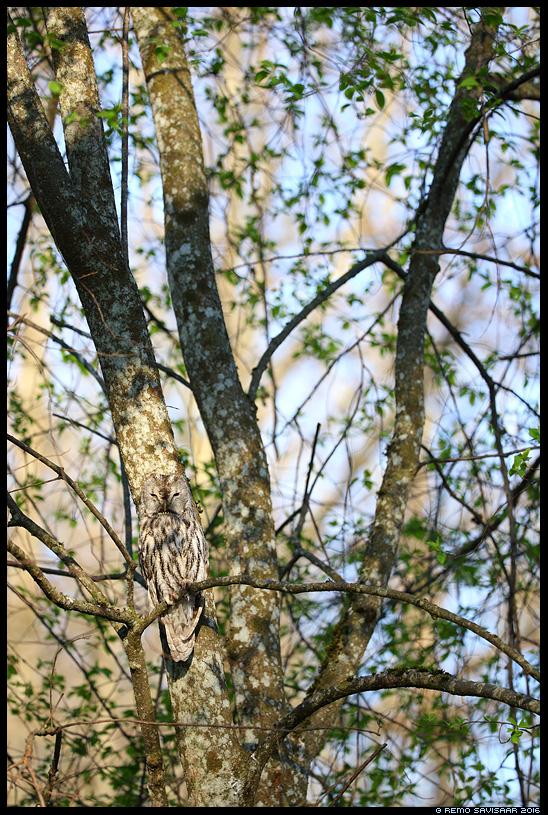 Kodukakk, Tawny Owl, Strix aluco Sulandumise meister, Master of Camouflage puud mets park trees forest Remo Savisaar Eesti loodus  Estonian Estonia Baltic nature wildlife photography photo blog loodusfotod loodusfoto looduspilt looduspildid