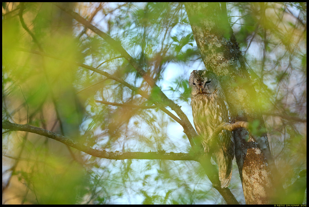 Kodukakk, Tawny Owl, Strix aluco portree kevad spring mets forest Remo Savisaar Eesti loodus  Estonian Estonia Baltic nature wildlife photography photo blog loodusfotod loodusfoto looduspilt looduspildid