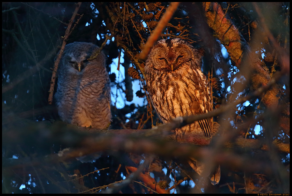 Kodukakk, Tawny Owl, Strix aluco poeg juvenile noorlind Remo Savisaar Eesti loodus  Estonian Estonia Baltic nature wildlife photography photo blog loodusfotod loodusfoto looduspilt looduspildid