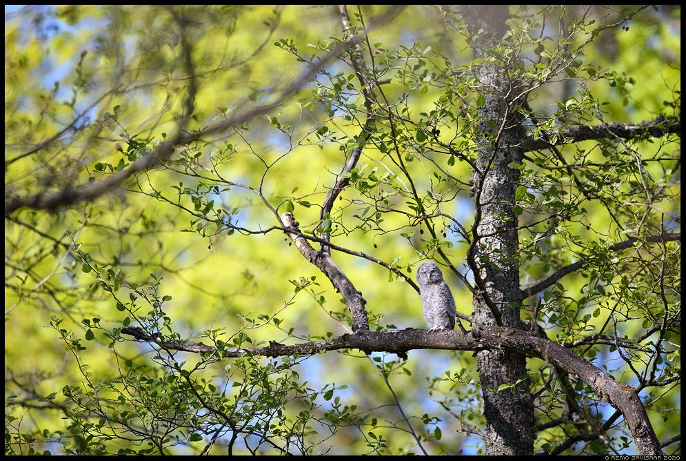Kodukakk, Tawny Owl, Strix aluco poeg juvenile noorlind Remo Savisaar Eesti loodus  Estonian Estonia Baltic nature wildlife photography photo blog loodusfotod loodusfoto looduspilt looduspildid