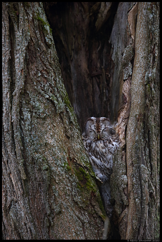 Puu hing, The Soul of a Tree Kodukakk, Tawny Owl, Strix aluco Remo Savisaar Eesti loodus  Estonian Estonia Baltic nature wildlife photography photo blog loodusfotod loodusfoto looduspilt looduspildid