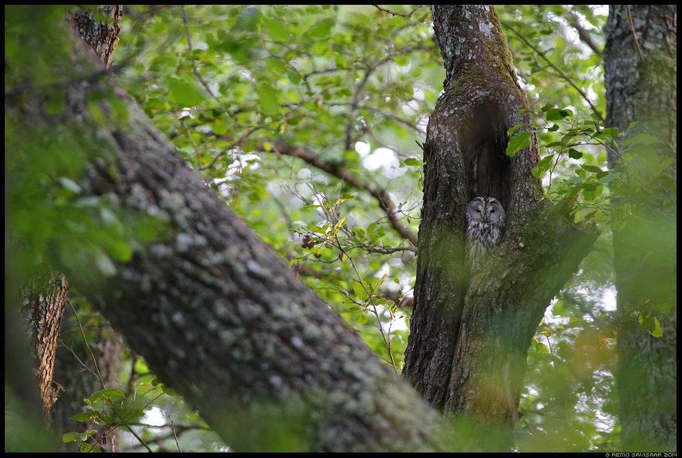Kodukakk, Tawny Owl, Strix aluco Remo Savisaar Eesti loodus  Estonian Estonia Baltic nature wildlife photography photo blog loodusfotod loodusfoto looduspilt looduspildid