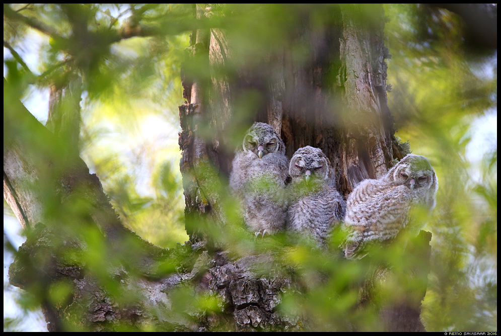 Kodukakk, Tawny Owl, Strix aluco pojad kakutibud kevad spring mets forest Remo Savisaar Eesti loodus  Estonian Estonia Baltic nature wildlife photography photo blog loodusfotod loodusfoto looduspilt looduspildid