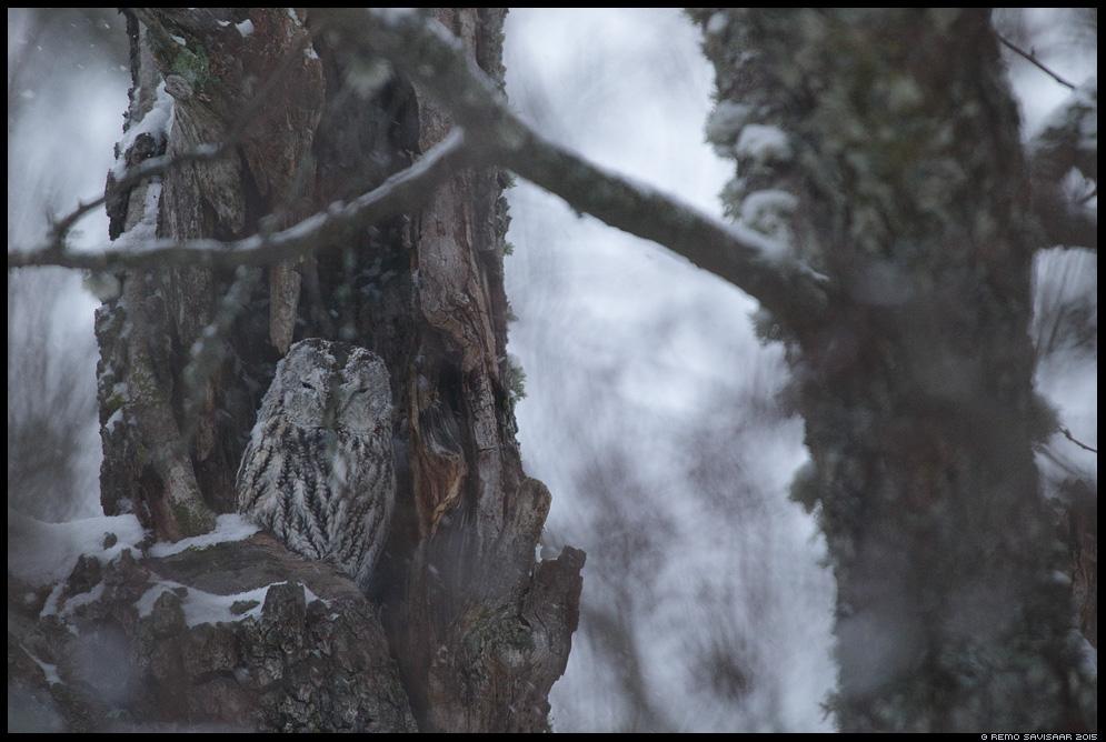 Tawny Owl, Strix aluco Remo Savisaar Eesti loodus  Estonian Estonia Baltic nature wildlife photography photo blog loodusfotod loodusfoto looduspilt looduspildid