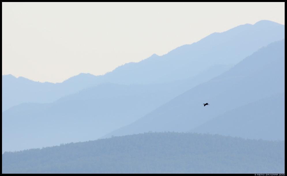 Kormoranid, Cormorants, Phalacrocorax carbo, lake Baikal, Siberia, Russia Remo Savisaar nature wildlife photography photo blog loodusfotod loodusfoto looduspilt looduspildid