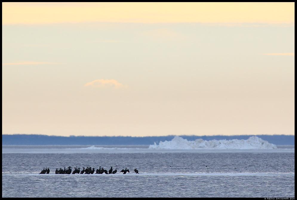 Parvetajad, Rafters, Kormoran, Cormorant, Phalacrocorax carbo, meri, jää, jäämäed, ice, icebergs, matsalu rahvuspark