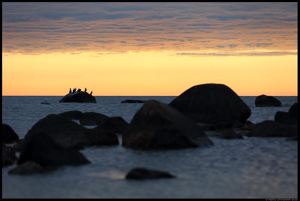 Kormoran, Cormorant, Phalacrocorax carbo, meri, läänemeri, baltic sea, hiiumaa