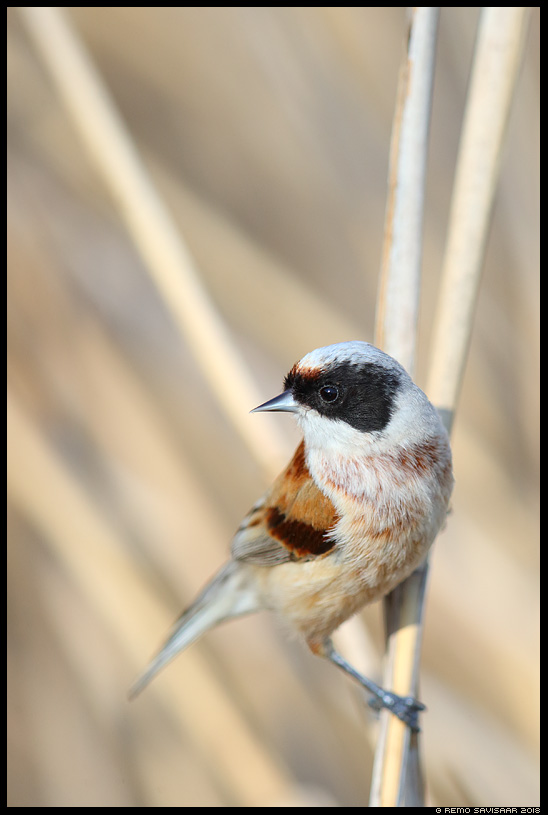 Kukkurtihane, Penduline Tit, Remiz pendulinus  Remo Savisaar Eesti loodus Estonian Estonia Baltic nature wildlife photography photo blog loodusfotod loodusfoto looduspilt looduspildid landscape nature wild wildlife nordic